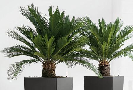 Cycas King Sago palmbomen 2 stuks nu slechts €24,95!