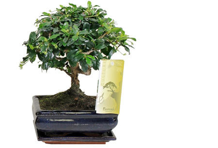 Bonsai boompjes set van 2 of 4 nu al vanaf €24,95 - Gratis bezorgd! Carmona