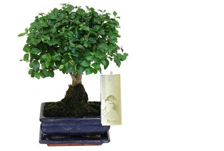 Bonsai boompjes set van 2 of 4 nu al vanaf €24,95 - Gratis bezorgd! Ligustrum