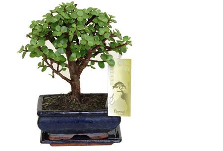 Bonsai boompjes set van 2 of 4 nu al vanaf €24,95 - Gratis bezorgd! Portulacaria