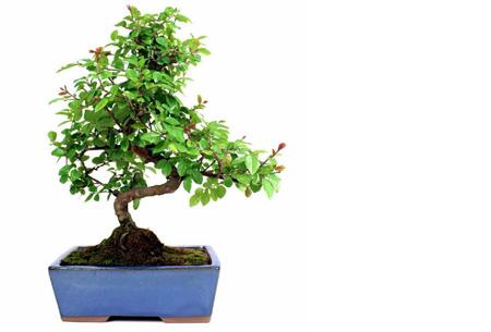 Bonsai boompjes set van 2 of 4 nu al vanaf €24,95 - Gratis bezorgd! Sageretia