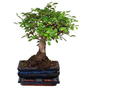 Bonsai boompjes set van 2 of 4 nu al vanaf €24,95 - Gratis bezorgd! Zelkova