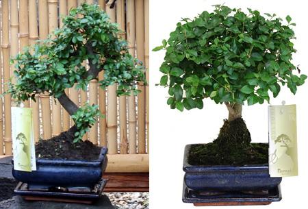 Bonsai boompjes set van 2 of 4 nu al vanaf €24,95 - Gratis bezorgd!
