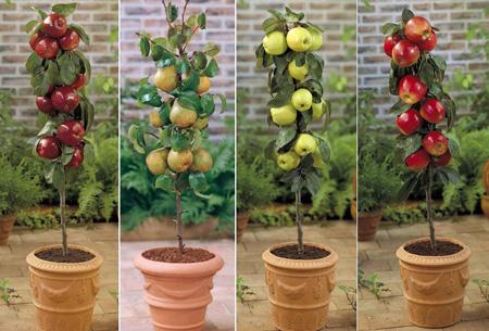 Appels met peren vergelijken? Bestel nu 4 fruitbomen voor slechts €29,95 Patio pakket