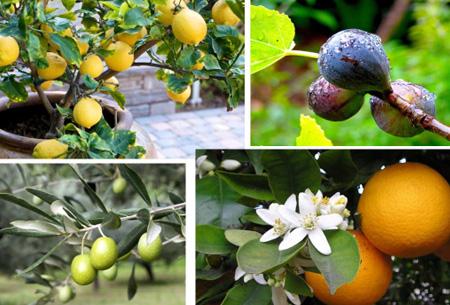 Appels met peren vergelijken? Bestel nu 4 fruitbomen voor slechts €29,95 Mediterrane pakket