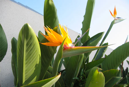 Paradijsvogelplant