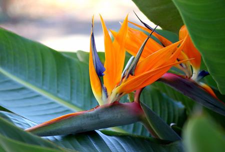 Paradijsvogelplant - Strelitzia Reginae