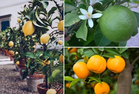 Set van 3 of 6 citrusbomen in de aanbieding