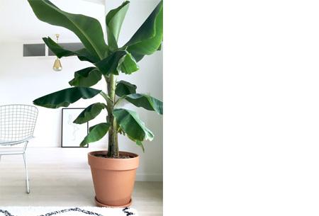Set van 4 exotische kamerplanten | Een tropische vibe met deze mix van trendy binnenplanten voor nog geen 5 euro p.s.! Bananenplant