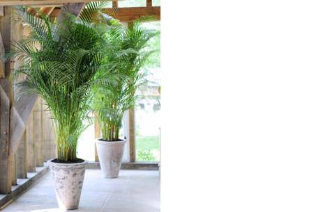 Set van 4 exotische kamerplanten | Een tropische vibe met deze mix van trendy binnenplanten voor nog geen 5 euro p.s.! Chamadorea Elegans