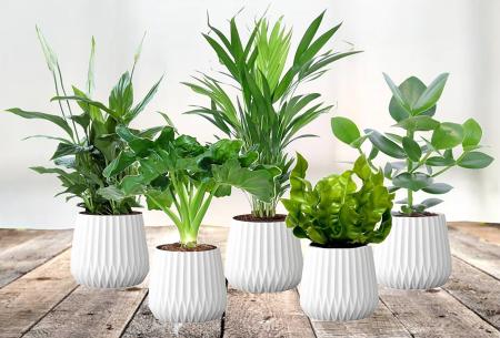 Aanbieding - Set van 5 luchtzuiverende kamerplanten