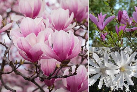 Magnolia boom 3 of 6 stuks in de aanbieding