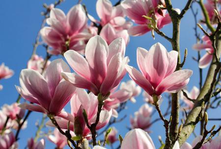 Magnolia's   Set van 3 of 6 stuks