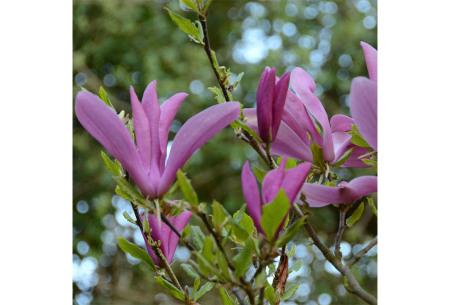 Magnolia's   Set van 3 of 6 stuks Susan