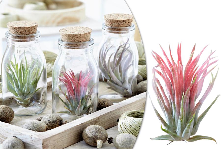 Tillandsia luchtplanten in decoratie fles | Keuze uit een set van 3 of 6 stuks!