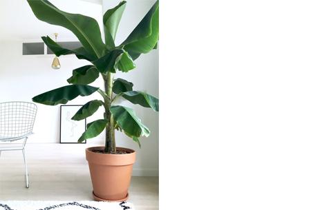 Set van 4 exotische kamerplanten | Mix van trendy binnenplanten voor een tropische sfeer in huis Bananenplant