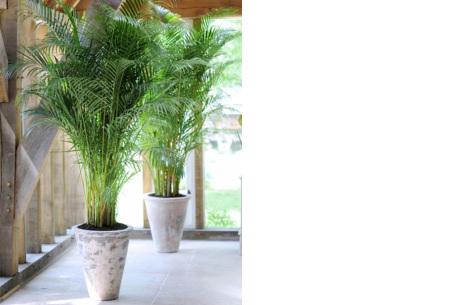 Set van 4 exotische kamerplanten | Mix van trendy binnenplanten voor een tropische sfeer in huis Palm Chamadoreo Elegans