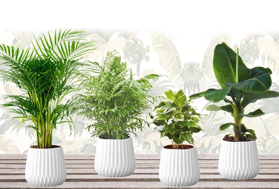 Set van 4 kamerplanten nu in de aanbieding