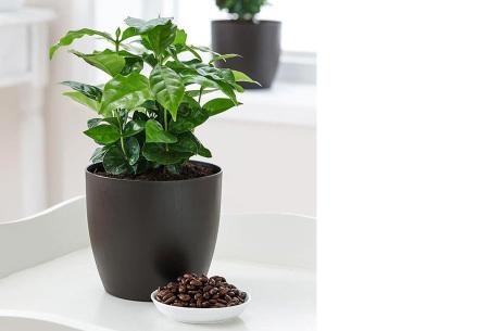 Set van 4 exotische kamerplanten | Mix van trendy binnenplanten voor een tropische sfeer in huis Koffieplant