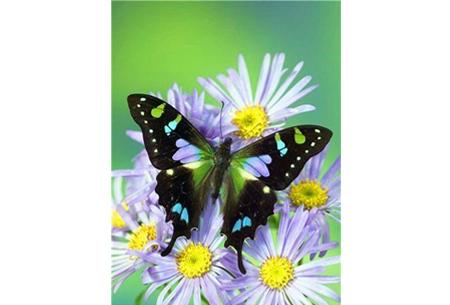 Diamond painting vlinders   Kies uit 14 prachtige schilderijen - in 5 formaten  #13