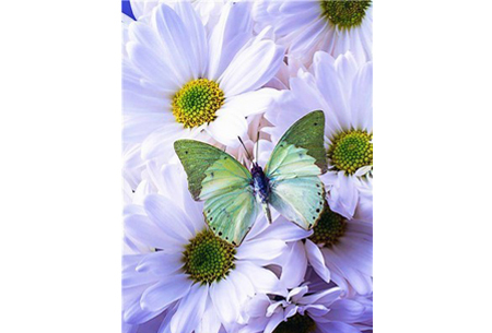 Diamond painting vlinders | Kies uit 14 prachtige schilderijen - in 5 formaten  #14