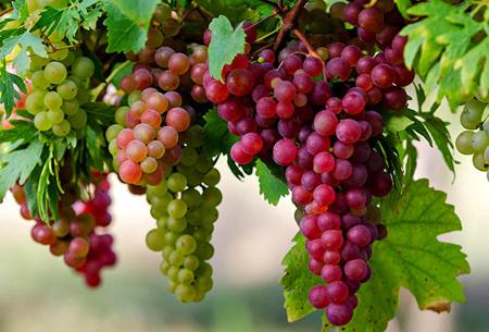 Druivenplanten set van 3 of 6 | Vitis Vinifera klimplant met rode, blauwe en witte druiven