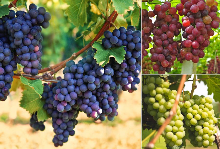 Druivenplanten set van 3 nu heel voordelig