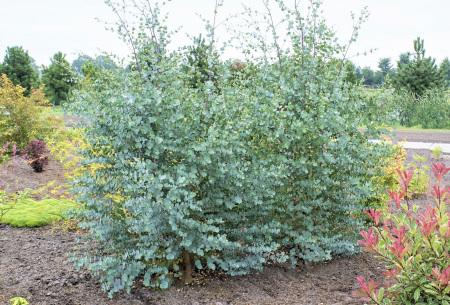 Eucalyptusplant | Prachtige winterharde en groenblijvende buitenplant