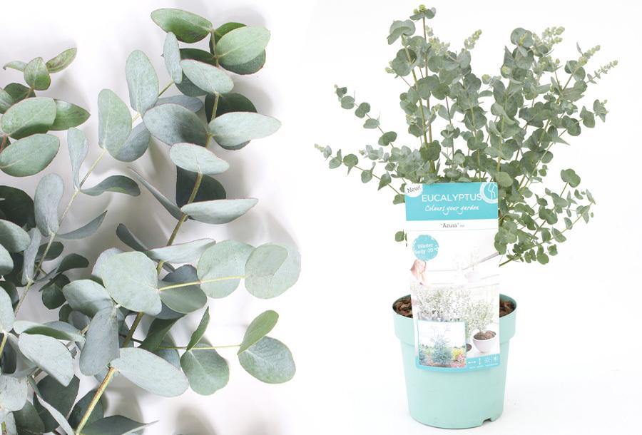 Eucalyptus plant nu in de aanbieding