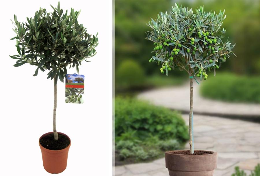 Winterharde olijfboom kopen doe je hier!