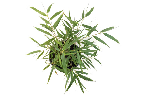 Rode bamboeplanten | Niet-woekerende Fargesia - set van 3 of 6 planten