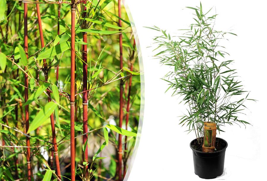 Rode bamboeplanten Set van 6