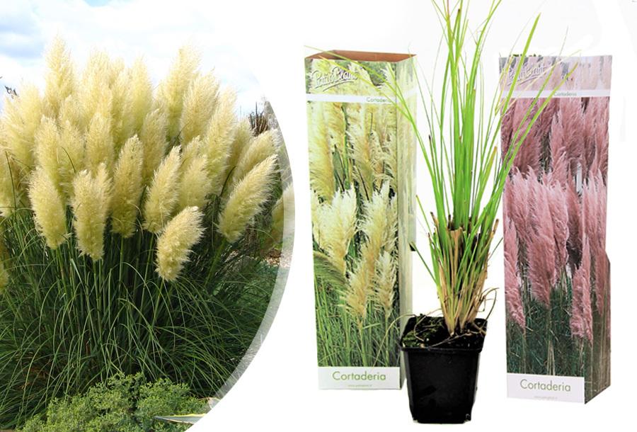 Set van 3 pampasgrassen 3x Roze