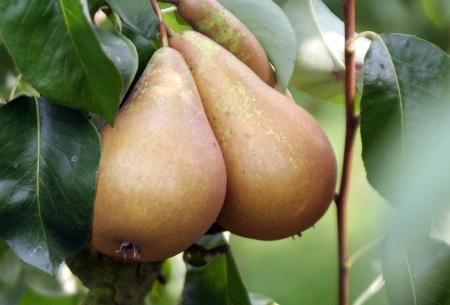 Set van 4 of 8 stuks fruitbomen | Peren-, kersen-, pruimen- en appelboom