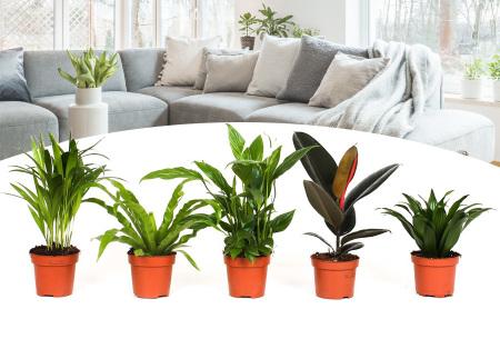 Set van 5 luchtzuiverende planten | Dé ideale kamerplanten voor schone lucht in huis