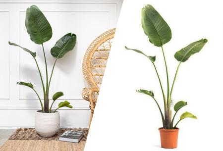 Strelitzia Nicolai XXL kamerplant   Exotische paradijsvogelplant in extra groot formaat