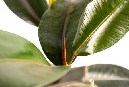 Ficus Elastica XL | Prachtige, groenblijvende kamerplant