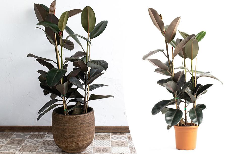 Ficus Elastica XL in de aanbieding!