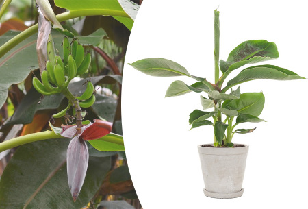 Tropische bananenplanten | Set van 3 of 6 winterharde planten