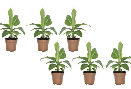Tropische bananenplanten | Set van 3 of 6 winterharde planten Set van 6