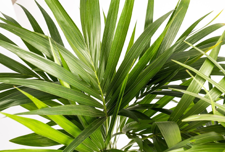 Kentia palm | Stijlvolle kamerplant - 2 formaten