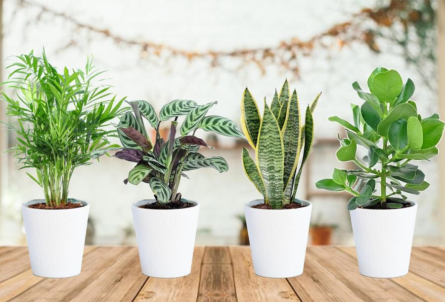 Set van 4 binnenplanten in de aanbieding