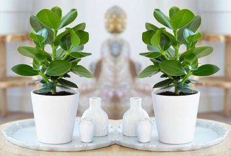Set van 5 luchtzuiverende kamerplanten   Mix van diverse, stijlvolle binnenplanten