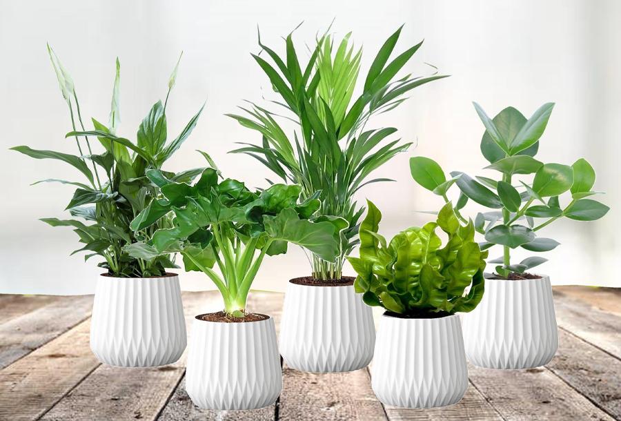 Set van 5 luchtzuiverende kamerplanten met korting