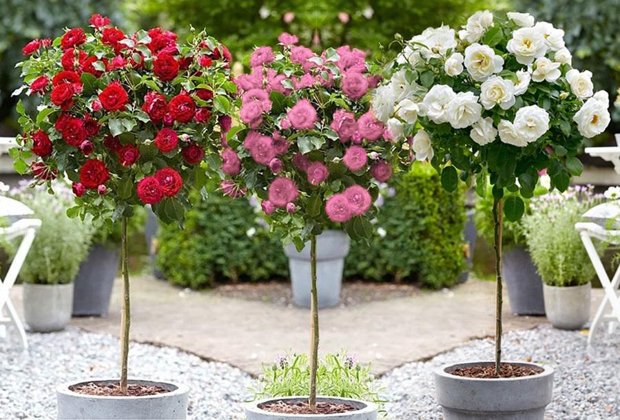 Foto XXL rozen voor buiten