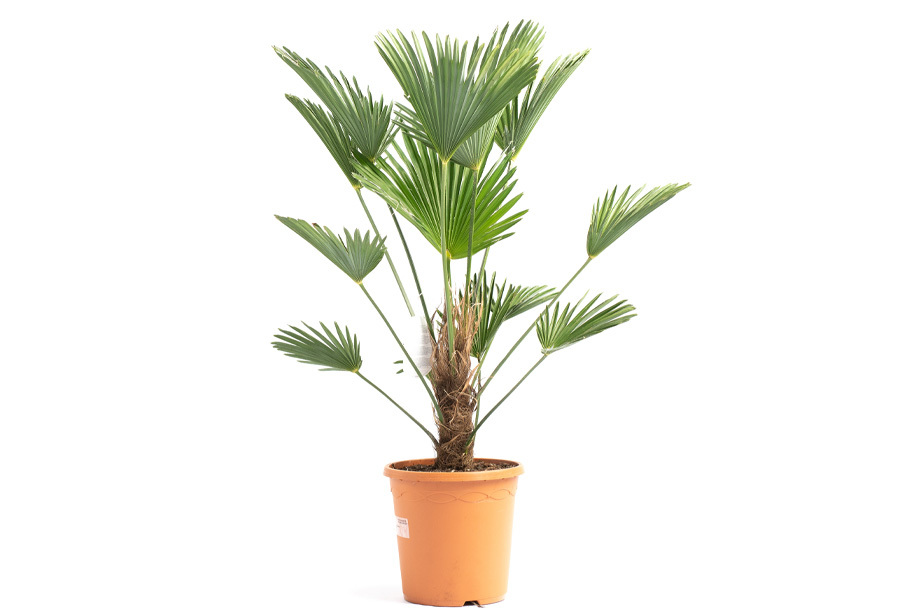 Wagnerpalm XL