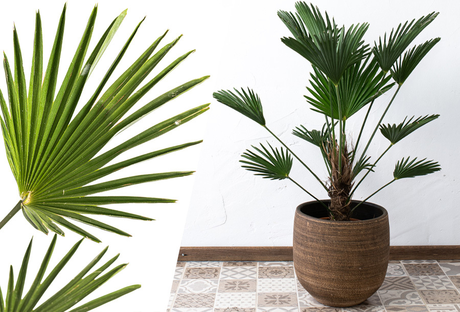 XL Wagner palm in de aanbieding
