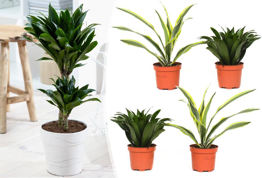 Foto Set van 4 Dracaena planten