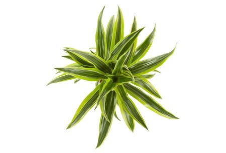 Set van 4 drakenbloedboom kamerplanten   Luchtzuiverende planten