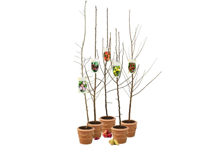 Set van 5 grote fruitbomen